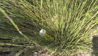 Cans can be found in the native grasses at the foreshore. Photo: Hele Ikimotu