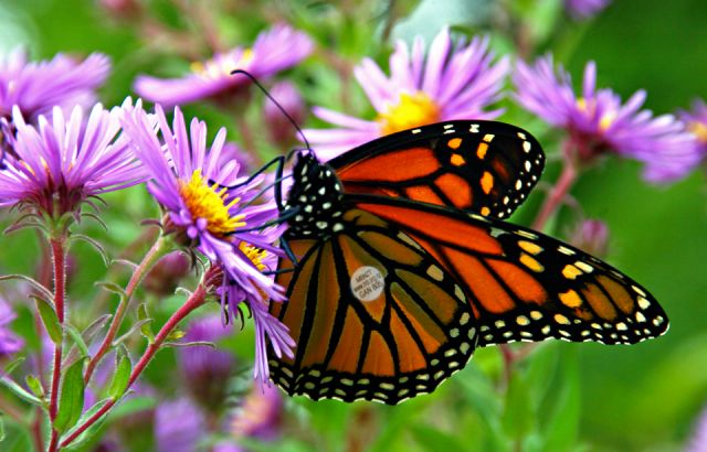 Perfect time for monarch butterfly tagging